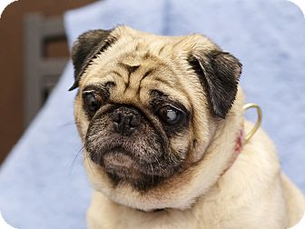 Pug Dog for adoption in Ile-Perrot, Quebec - Charley