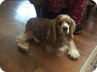 Cocker Spaniel Mix Dog for adoption in Mentor, Ohio - Emerson 12yr Adopted