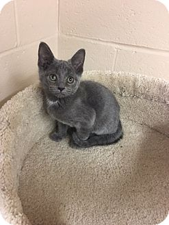 Domestic Shorthair Kitten for adoption in Troy, Ohio - Danny