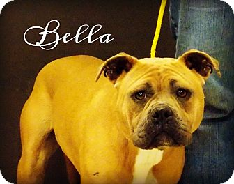 Pit Bull Terrier/Boxer Mix Dog for adoption in Defiance, Ohio - Bella