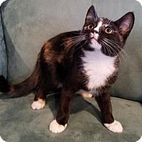 Domestic Shorthair Kitten for adoption in Battle Ground, Washington - Clarice