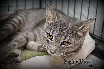 Domestic Shorthair Cat for adoption in Glen Mills, Pennsylvania - Sugar Puss