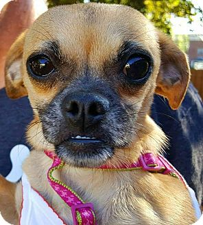 Pug/Chihuahua Mix Dog for adoption in Andalusia, Pennsylvania - Ariel
