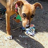 Adopt A Pet :: Peanut - Lindsay, CA