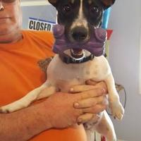 Adopt A Pet :: Oreos - New palestine, IN