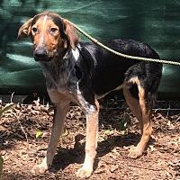 Adopt A Pet :: Deacon - Demopolis, AL