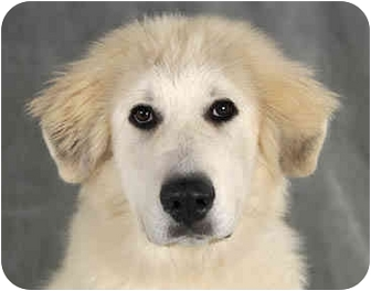 Great Pyrenees Puppy for adoption in Chicago, Illinois - Reily