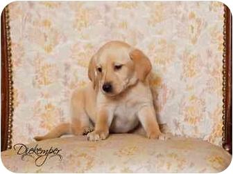 Collie/Labrador Retriever Mix Puppy for adoption in Vandalia, Illinois - Piper