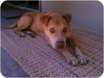 American Pit Bull Terrier/Hound (Unknown Type) Mix Dog for adoption in Tujunga, California - Champ