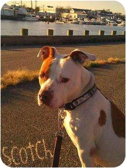 American Pit Bull Terrier Mix Dog for adoption in Freeport, New York - Scotch