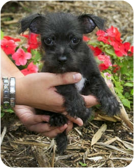 Yorkie, Yorkshire Terrier/Chinese Crested Mix Puppy for adoption in North Palm Beach, Florida - Jet