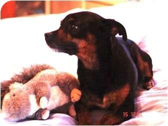 Dachshund/Miniature Pinscher Mix Dog for adoption in Los Angeles, California - Henriette