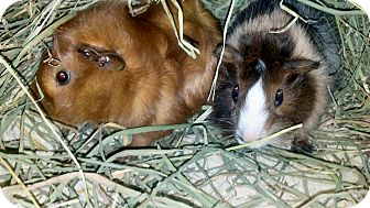 Guinea Pig for adoption in Lewisville, Texas - Hercules and Apollo