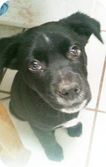 Border Collie Mix Puppy for adoption in Tucson, Arizona - Linus