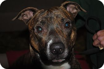 American Staffordshire Terrier/Labrador Retriever Mix Puppy for adoption in Sacramento, California - Chiki, sweet, smart,  loving