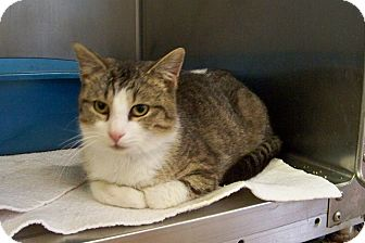 Domestic Shorthair Cat for adoption in Dover, Ohio - Spike