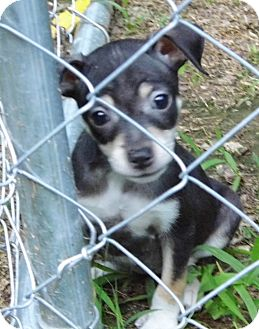 Chihuahua Mix Puppy for adoption in Bel Air, Maryland - Tiny