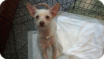 Maltese/Chihuahua Mix Puppy for adoption in Costa Mesa, California - Tinker Bell