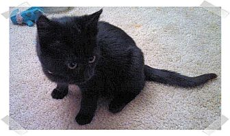 Domestic Shorthair Kitten for adoption in Olmsted Falls, Ohio - Violet