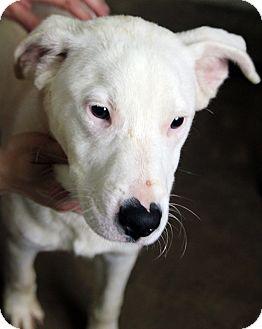 Labrador Retriever Mix Dog for adoption in Plainfield, Illinois - Diego
