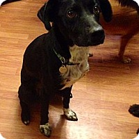Adopt A Pet :: Pongo - Hagerstown, MD