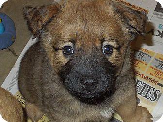 Terrier (Unknown Type, Medium)/Shepherd (Unknown Type) Mix Puppy for adoption in Washington, Pennsylvania - Izzy's male pup