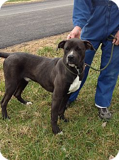Pit Bull Terrier Mix Dog for adoption in Zanesville, Ohio - #002-14  ADOPTED!