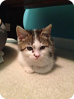 Domestic Shorthair Cat for adoption in Charlotte, North Carolina - A..  Winston