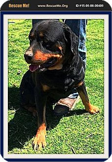 Rottweiler Dog for adoption in Murrieta, California - Billy