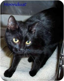 Bombay Kitten for adoption in Culpeper, Virginia - Moondust