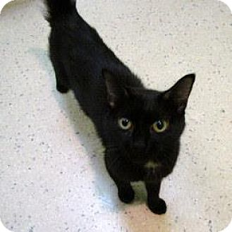 Domestic Shorthair Cat for adoption in Janesville, Wisconsin - Kennedy