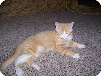 Domestic Shorthair Kitten for adoption in Fallon, Nevada - Cecil