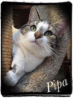 Domestic Shorthair Cat for adoption in Woodsfield, Ohio - Pippa