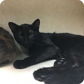 Domestic Shorthair Kitten for adoption in Westminster, California - Grover