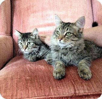 Maine Coon Cat for adoption in Buford, Georgia - Ozzie and Fleetwood