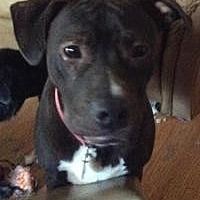 Pit Bull Terrier Dog for adoption in Dallas, Texas - Lacy