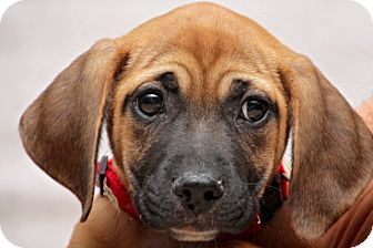 Black Mouth Cur Mix Puppy for adoption in Fort Atkinson, Wisconsin - Flower