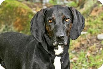 Plott Hound/Mixed Breed (Large) Mix Dog for adoption in Cashiers, North Carolina - Coaly