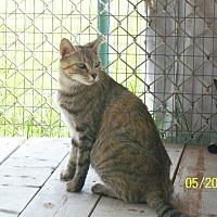 Domestic Shorthair Cat for adoption in Mexia, Texas - Chloe