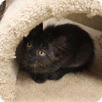 Domestic Shorthair Kitten for adoption in Naperville, Illinois - Jordan