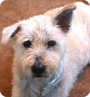 Wheaten Terrier/Schnauzer (Standard) Mix Dog for adoption in Woonsocket, Rhode Island - Lola