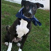Adopt A Pet :: Balu - Selbyville, DE