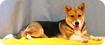 Corgi Mix Dog for adoption in Maynardville, Tennessee - Lucy