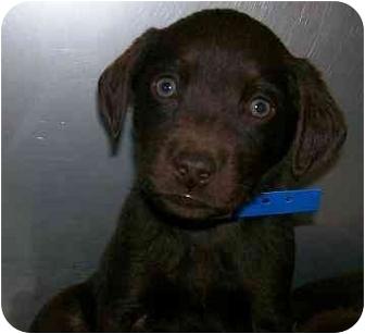 Labrador Retriever Mix Puppy for adoption in Cumming, Georgia - Rambler