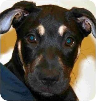 German Shepherd Dog Mix Puppy for adoption in Arlington Heights, Illinois - Jasmin