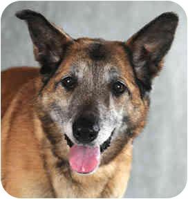 Belgian Malinois/German Shepherd Dog Mix Dog for adoption in Chicago, Illinois - Babe