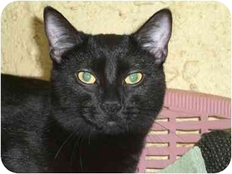 Domestic Shorthair Cat for adoption in Lombard, Illinois - Porsche