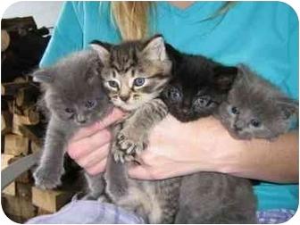 Russian Blue Kitten for adoption in Cincinnati, Ohio - Blue Kaboodle