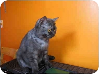 British Shorthair Cat for adoption in Mississauga, Ontario - Princess