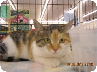 Calico Cat for adoption in Riverside, Rhode Island - Butterccup